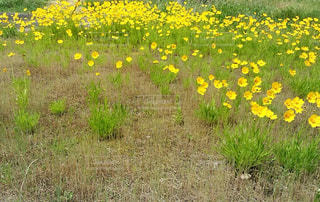黄色  花  黄緑  野原  かわいいの写真・画像素材[600866]