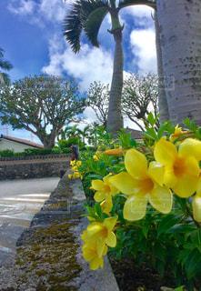 黄色  花  かわいい  青空  南国  沖縄  日差し  夏の写真・画像素材[600894]