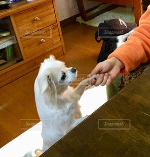 テーブルの上に座っている犬の写真・画像素材[1219973]