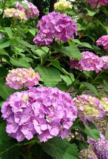 花,屋外,紫陽花,草木