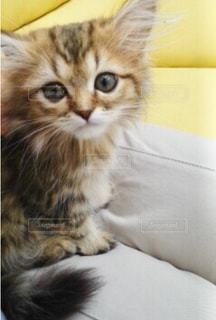 見つめる子猫の写真・画像素材[1255017]