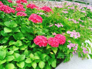 花,屋外,ピンク,緑,きれい,あじさい,鮮やか,草,美しい,紫陽花,日本,神戸,梅雨,四季,草木,アジサイ,ガーデン