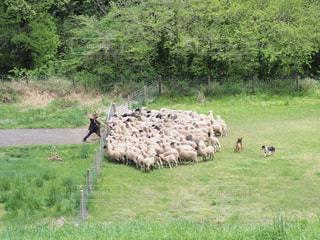 羊の大行進の写真・画像素材[761167]