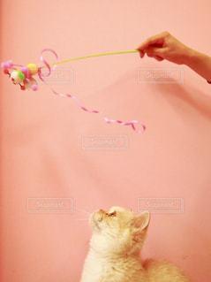 ピンクの壁と猫の写真・画像素材[850198]