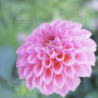 ピンクのダリアの写真・画像素材[1449009]