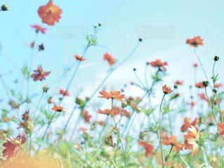 花,秋,オレンジ,秋晴れ,キバナコスモス,コスモス畑,秋空,フォトジェニック,浜離宮恩賜庭園,花と空