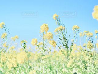 花,春,花畑,青空,黄色,菜の花,ふんわり,ドリーミー