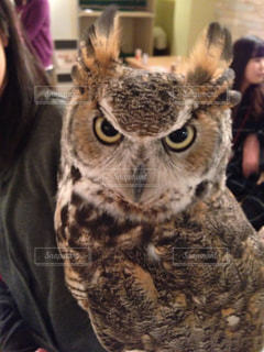 動物,鳥,目,フクロウ