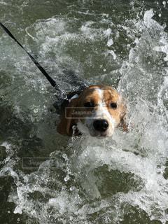 水に乗って、茶色と白犬 - No.707552