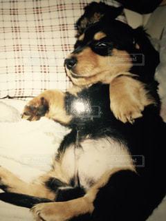 ベッドの上に横たわる犬 - No.724766