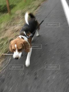 ひもに茶色と白犬 - No.732337