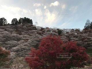 四季桜と紅葉と踊る雲の写真・画像素材[2449482]