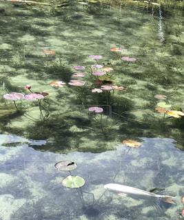 モネの池の写真・画像素材[2480687]