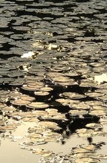 池さん蓮の葉に反射の写真・画像素材[2679792]