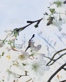 四季桜にとまる蜂の写真・画像素材[2793739]