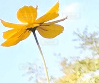 黄色い花の写真・画像素材[2836998]