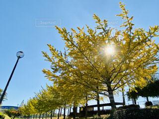 空,秋,屋外,太陽,葉,水色,光,樹木,銀杏,並ぶ