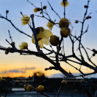 空,花,冬,屋外,太陽,夕焼け,枝,黄色,光,樹木,寒い,蕾,蝋梅,可愛らしい,ロウバイ