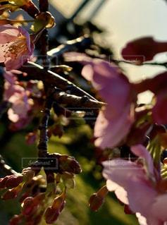 花,景色,河津桜