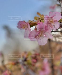 花,桜,景色,河津桜,ブルーム,ブロッサム