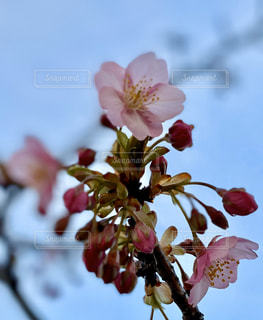 空,花,春,景色,河津桜,ブロッサム