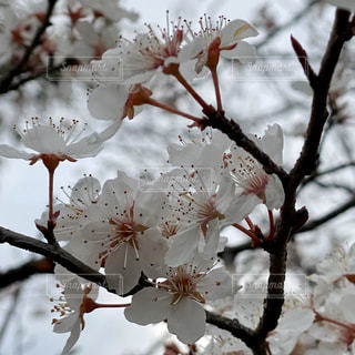 花,春,屋外,枝,樹木,桜の花,さくら,ブロッサム