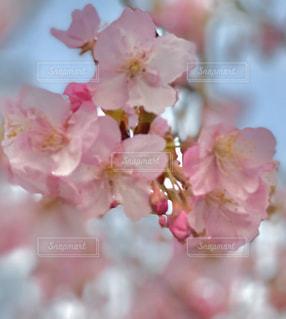 花,景色,草木,桜の花,さくら,ブルーム,ブロッサム