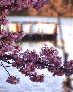 公園,花,春,桜,ピンク,夕暮れ,池,景色,鮮やか,光,河津桜,草木,桜の花,ブロッサム