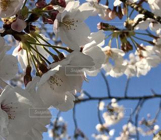 空,花,春,桜,青い空,草木,桜の花,さくら,ブルーム,ブロッサム