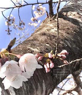 花,桜,屋外,樹木,草木,桜の花,さくら