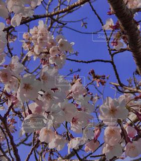 花,春,桜,屋外,樹木,草木,桜の花,さくら,ブルーム,ブロッサム