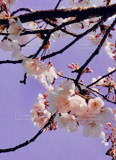 空,花,春,屋外,枝,葉,鮮やか,樹木,草木,桜の花,さくら,ブルーム,ブロッサム