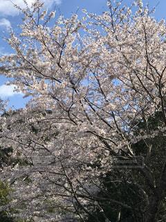 空,花,春,屋外,樹木,草木,桜の花,日中,さくら,ブロッサム