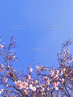 自然,空,花,屋外,樹木,草木,桜の花,さくら