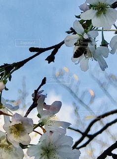 空,花,樹木,草木,桜の花,さくら,ブルーム,ブロッサム