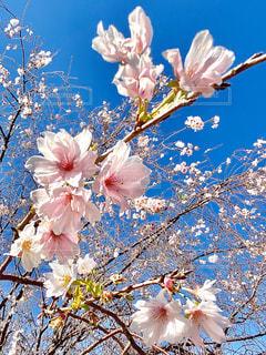 空,花,春,白,青い空,鮮やか,草木,桜の花,さくら,ブルーム,ブロッサム