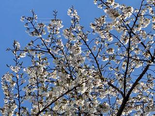 空,花,春,桜,屋外,青い空,満開,樹木,草木,ブロッサム