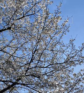 空,花,桜,屋外,樹木,草木,日中