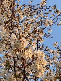 空,花,春,屋外,樹木,夕陽,草木,桜の花,さくら,ブロッサム