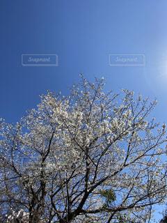 空,花,桜,屋外,樹木,草木,桜の花,日中,ブロッサム