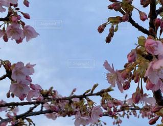 空,花,春,桜,花束,樹木,たくさん,河津桜,草木,桜の花,ブルーム,ブロッサム