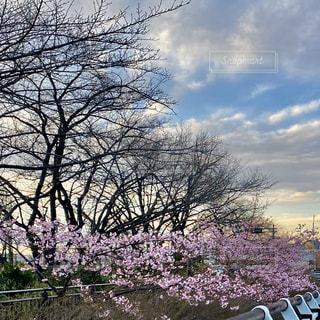 自然,風景,空,花,春,屋外,草,樹木,河津桜,草木,クラウド,ブロッサム