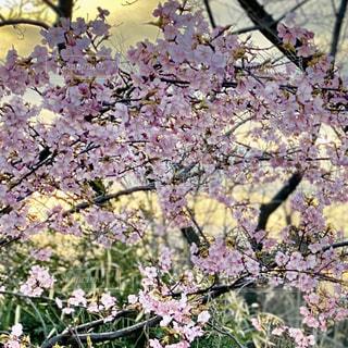 花,春,桜,屋外,夕陽,草木,桜の花,ブルーム,ブロッサム