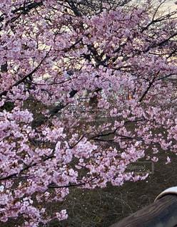 花,春,屋外,樹木,河津桜,桜の花,さくら,ブルーム,ブロッサム
