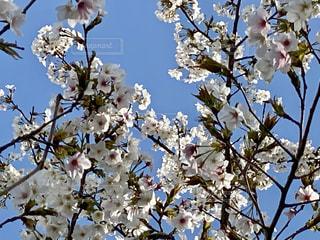 空,花,春,青い空,樹木,クリア,草木,桜の花,さくら,ブルーム,ブロッサム