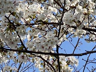 花,春,屋外,青い空,樹木,草木,桜の花,さくら,ブルーム,ブロッサム