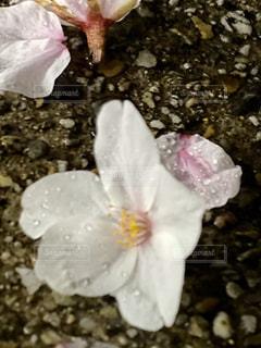 花,桜,雨,地面,散る,さくら,ブルーム,さくらの花びら,フローラ