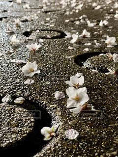 花,桜,屋外,花びら,地面,さくら,桜の花びら