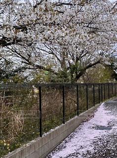 自然,風景,空,桜,屋外,樹木,フェンス,散る,草木,桜の花,さくら