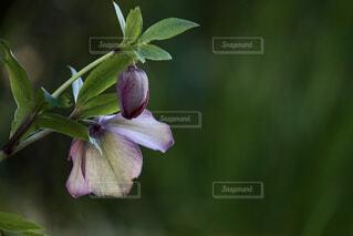 緑の葉を持つ単一のピンクの花の写真・画像素材[4360044]